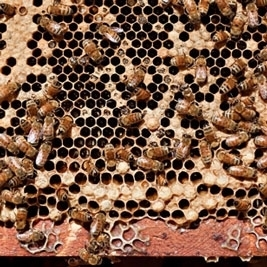 The plight of the bees | Extension Works the Food System | Scoop.it