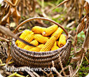 The anti-GMO way: Modern corn was created through thousands of generations of selective breeding by indigenous Mesoamericans | How To Be Naturally Healthy | Scoop.it