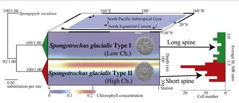 Uncovering sibling species in Radiolaria: Evidence for ecological partitioning in a marine planktonic protist | Protist evolution and biology | Scoop.it