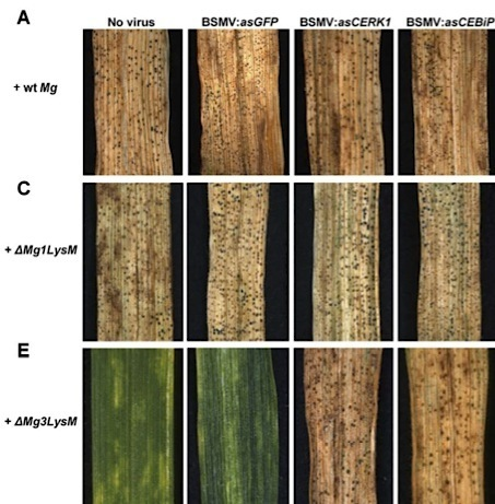 MPMI: Mycosphaerella graminicola LysM effector-mediated stealth pathogenesis subverts recognition through both CERK1 and CEBiP homologues in wheat (2013) | plant pathogen interactions | Scoop.it