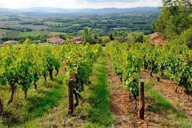 Beaujolais: La production boycotte l'interprofession | Le vin quotidien | Scoop.it