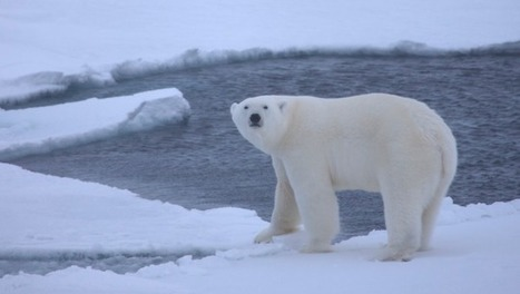 Scientists Have Solved a Decades-Old Mystery About Polar Bears | Strange days indeed... | Scoop.it