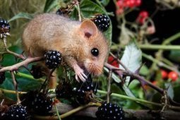 Britain's dormice have declined by a third since 2000, report shows | Wenlock Edge | Scoop.it
