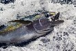 Tuna plunder to continue as governments fail to clamp down on overfishing | OUR OCEANS NEED US | Scoop.it
