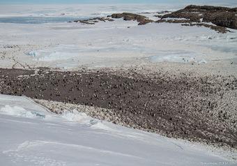 Faucon adélie: Tic tac tic tac, déjà R1 .... #Antactique #manchot #TAAF #IPEV | Arctique et Antarctique | Scoop.it
