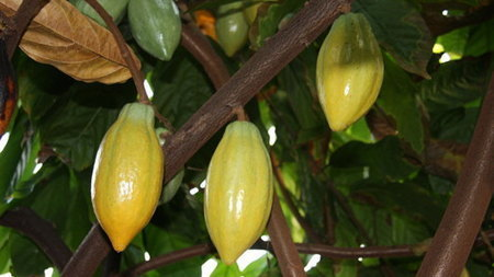 Plants & Fungi: Theobroma cacao (cocoa tree) - Species profile from Kew | Erba Volant - Applied Plant Science | Scoop.it