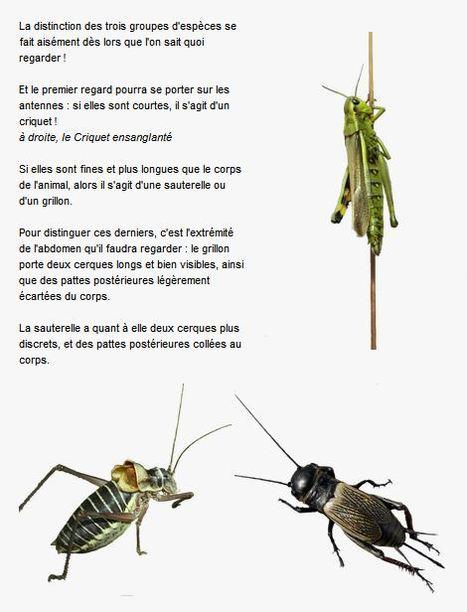 Criquet ? Grillon ? Sauterelle ? | Insect Archive | Scoop.it