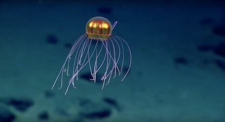 Hypnotic new jellyfish species discovered 2.3 miles under the sea | Biodiversity protection | Scoop.it