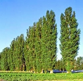 BOSQUES COMESTIBLES: ÁLAMO NEGRO (Populus nigra) | Agua | Scoop.it