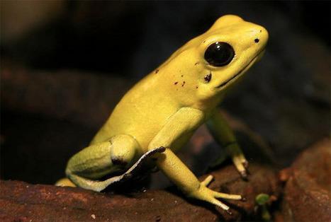 La rana dorada venenosa, probablemente el animal más venenoso del mundo | Bichos en Clase | Scoop.it