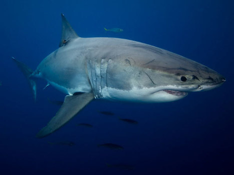 Amazing facts we learned from Shark Week | All about water, the oceans, environmental issues | Scoop.it