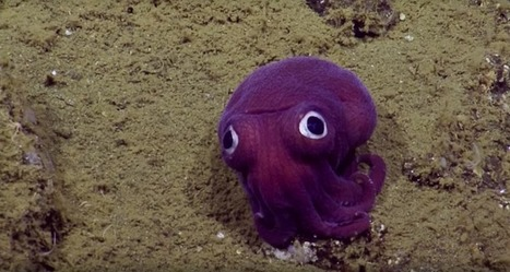 Googly-Eyed Cuttlefish Looks Like a Toy Dropped in the Ocean | Le It e Amo ✪ | Scoop.it