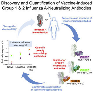 Vaccine-Induced Antibodies that Neutralize Group 1 and Group 2 Influenza A Viruses | Virology News | Scoop.it