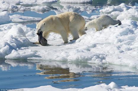 Los osos polares evolucionaron para comer comida basura | Medio ambiente y energia | Scoop.it