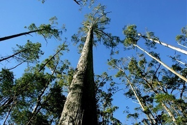 Exotic timber pests detected in Australia | Timberland Investment | Scoop.it
