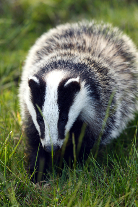 1,400 badgers vaccinated, minister says | Conservation & Environment | Scoop.it
