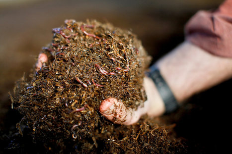 Worms Produce Another Kind of Gold for Farmers | Living Green - Integrated Architecture & Practices | Scoop.it