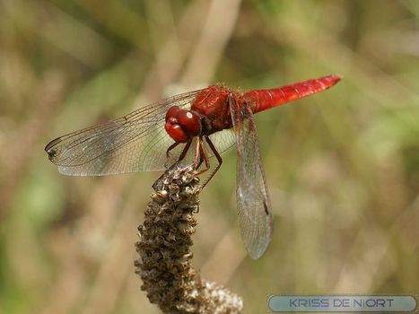 Libellule - Photos de libellules : Libellule écarlate - Crocothémis écarlate - Crocothemis erythraea - Scarlet dragonfly   Fauna Free Pics - Public Domain - Photos gratuites d'animaux   Scoop.it