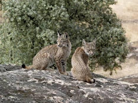 Los linces liberados en Extremadura continúan bien aclimatados y asentados | GeoActiva Turismo de Aventura | Scoop.it