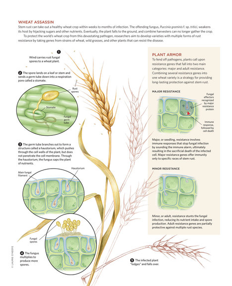 Putting Up Resistance (to wheat stem rust fungus Ug99). The Scientist Magazine® | Research | Scoop.it