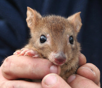Woylie Conservation Research Project - ABC South West WA - Australian Broadcasting Corporation | Australian Wildlife - The Woylie | Scoop.it