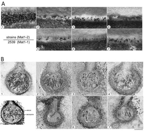 Calpains are involved in asexual and sexual development, cell wall integrity and pathogenicity of the rice blast fungus | Rice Blast | Scoop.it