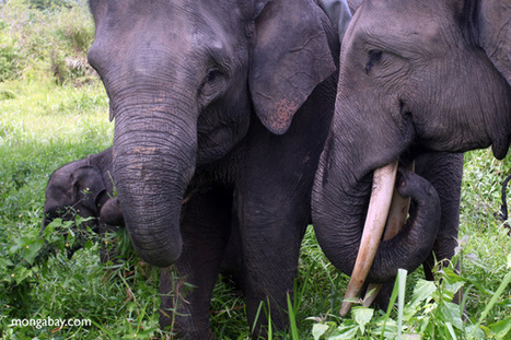Asian elephants depend on shifting cultivation during the dry season | Geography in the news | Scoop.it