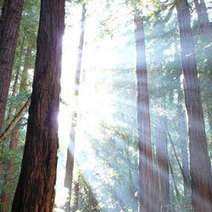 Redwoods Record Ancient Ocean Climate : DNews | Environment and Conservation News | Scoop.it