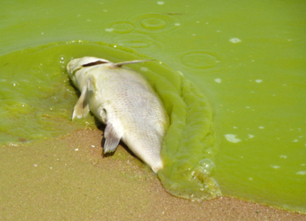 Toxic Algae Plagues U.S. | EcoWatch | Scoop.it