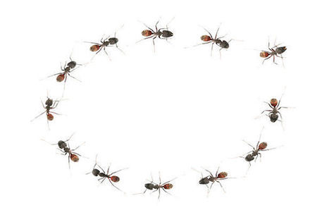 SOME AMAZING ANT FACTS: Australian Sugar Ants Walk In Circles When Lost | Biodiversity IS Life  – #Conservation #Ecosystems #Wildlife #Rivers #Forests #Environment | Scoop.it
