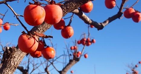 FreshFruitPortal.com | Spain: Hail damages could hit €10M for Valencian growers | Fruits & légumes à l'international | Scoop.it