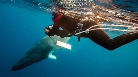 Young minke whale entangled in ropes set free | CTV News - CTV News | World whale rescue | Scoop.it