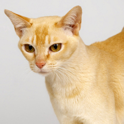 Singapura Cat | Cat Breeds Information | Scoop.it