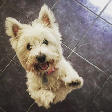 Instagram photo by Graeme • Sep 19, 2016 at 8:59pm UTC | West Highland White Terrier | Scoop.it