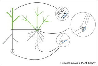 Shoot and root branch growth angle control—the wonderfulness of lateralness | Plant Gene Seeker -PGS | Scoop.it