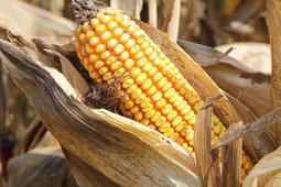 Drought-resistant corn has growers intrigued - KansasCity.com | Climate Change + Food | Scoop.it