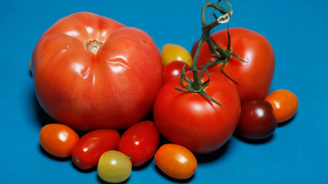 The Search For Tastier Supermarket Tomatoes: A Tale In 3 Acts | Vertical Farm - Food Factory | Scoop.it