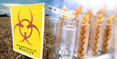 Studies Show that GMO wheat can silence or even permanently damage human genes | Plant Based Transitions | Scoop.it