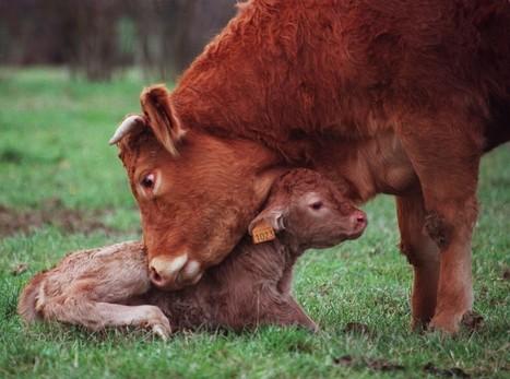 Vache et veau : à deux on est mieux !   Merveilles - Marvels   Scoop.it