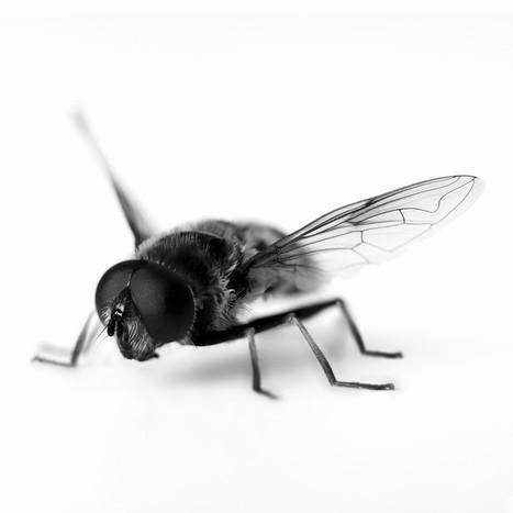 Les super-oreilles des mouches | EntomoScience | Scoop.it