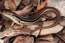 Wildlife Extra News - New lizard discovered in Western Australia – Already Endangered | Australian animals | Scoop.it