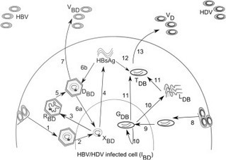 Dynamics of in vivo hepatitis D virus infection | Viral Modeling and Simulation | Scoop.it