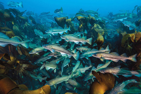 Cod make a comeback thanks to strict cuts in fishing - life - 08 July 2015 ... - New Scientist | Nova Scotia Fishing | Scoop.it