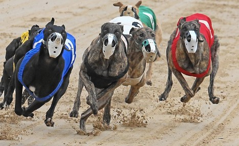 ANIMALS IN ENTERTAINMENT: Should Greyhound Racing Be Outlawed? | > Animal Welfare | Scoop.it