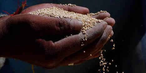 Le premier quinoa belge vendu en magasin | Revue de presse agricole de la FUGEA | Scoop.it