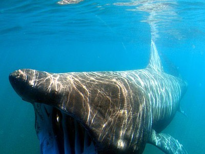 Basking Sharks Make a Comeback in British Waters | Ocean News | Scoop.it