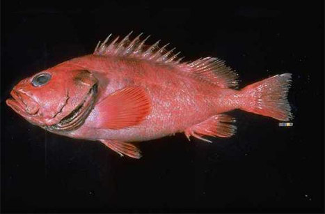 Oldest vertebrate: 200-Year-Old Fish (Sebastes borealis) Caught Off Alaska   Travel in Alaska   Scoop.it