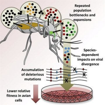West Nile virus evolution differs by species of mosquito carrier | Genomic Parasites: Coevolution between host and parasites | Scoop.it