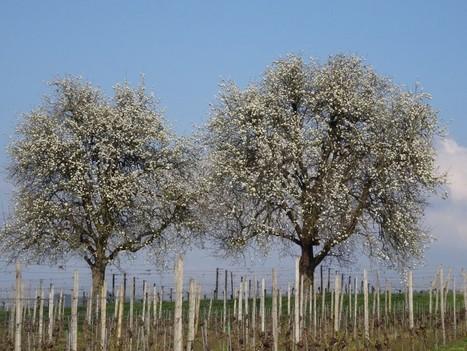 Les cerisiers sont en fleurs | Regarder le ciel | Scoop.it