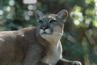 Florida panther found dead in Collier County makes 21 for the year | The Billy Pulpit | Scoop.it